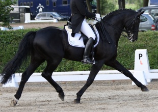 Horses , Horse - High Performance Dressage, Griffin, Listing ID 1092, Clifton, New York, United States,
